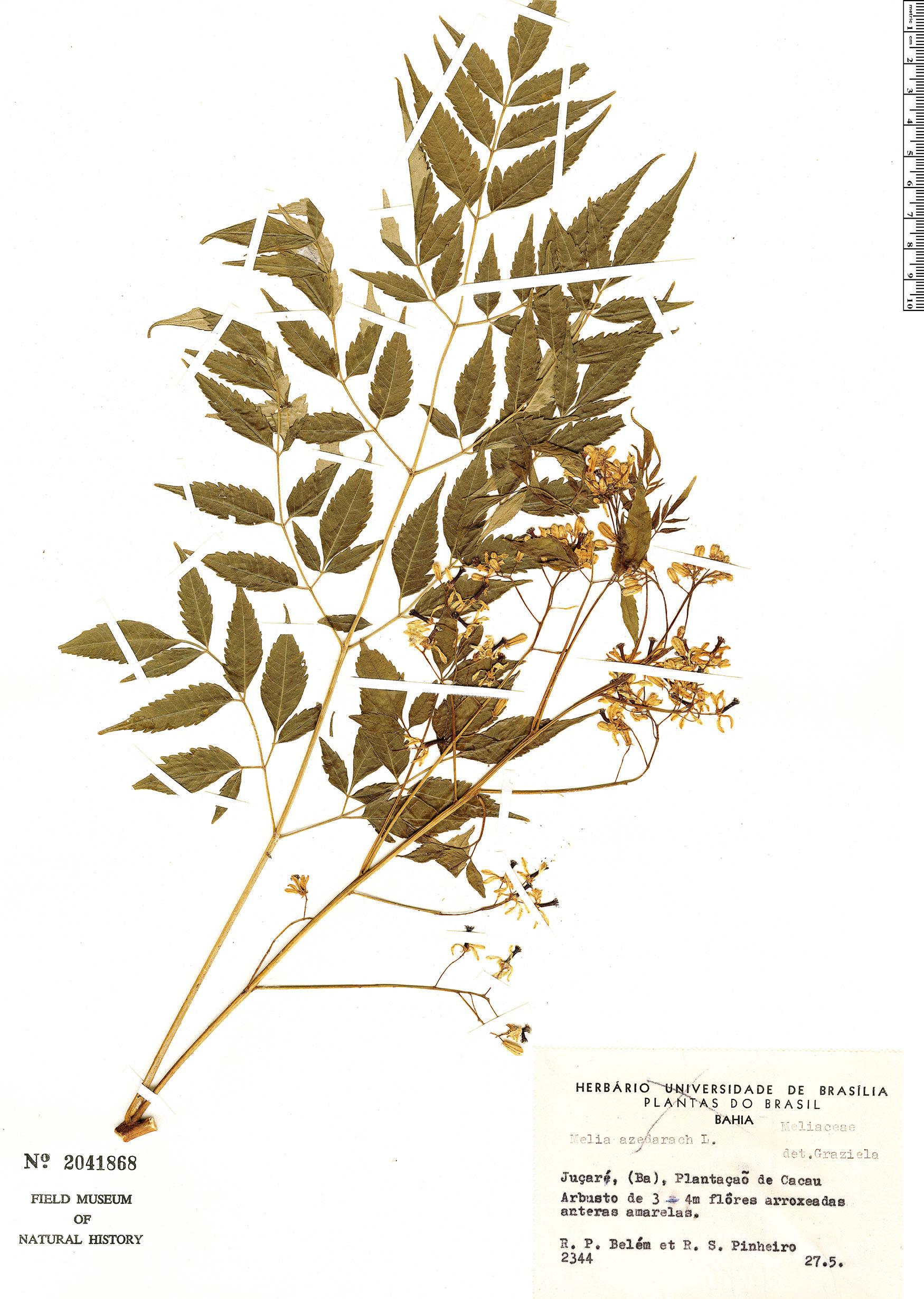 Specimen: Melia azedarach