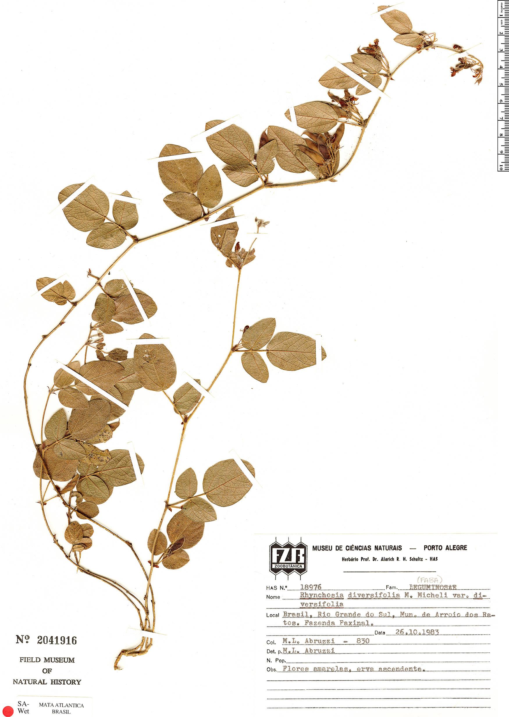Espécime: Rhynchosia diversifolia