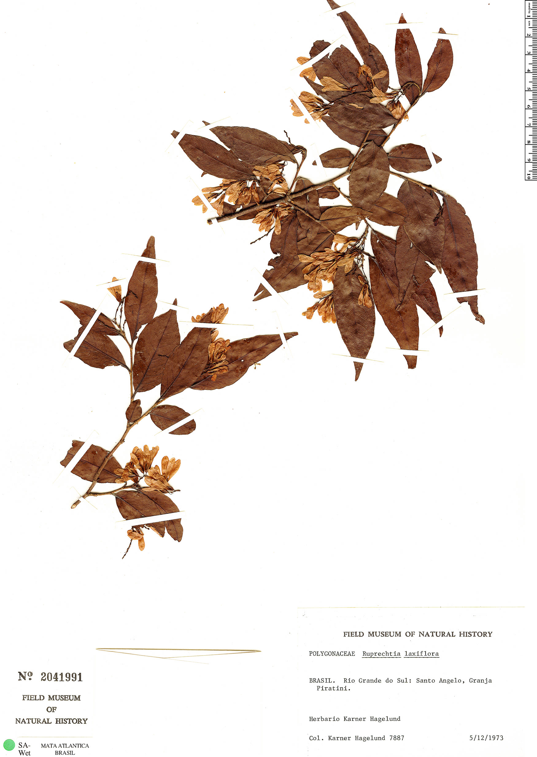 Specimen: Ruprechtia laxiflora
