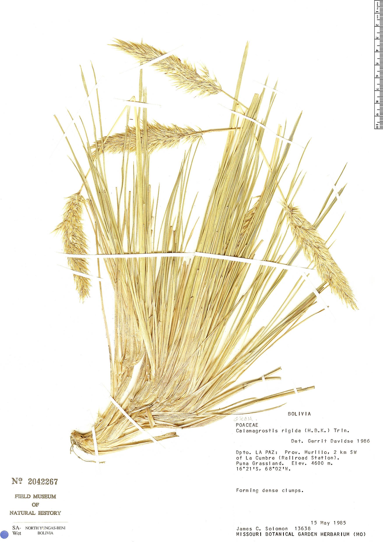 Specimen: Deyeuxia nitidula