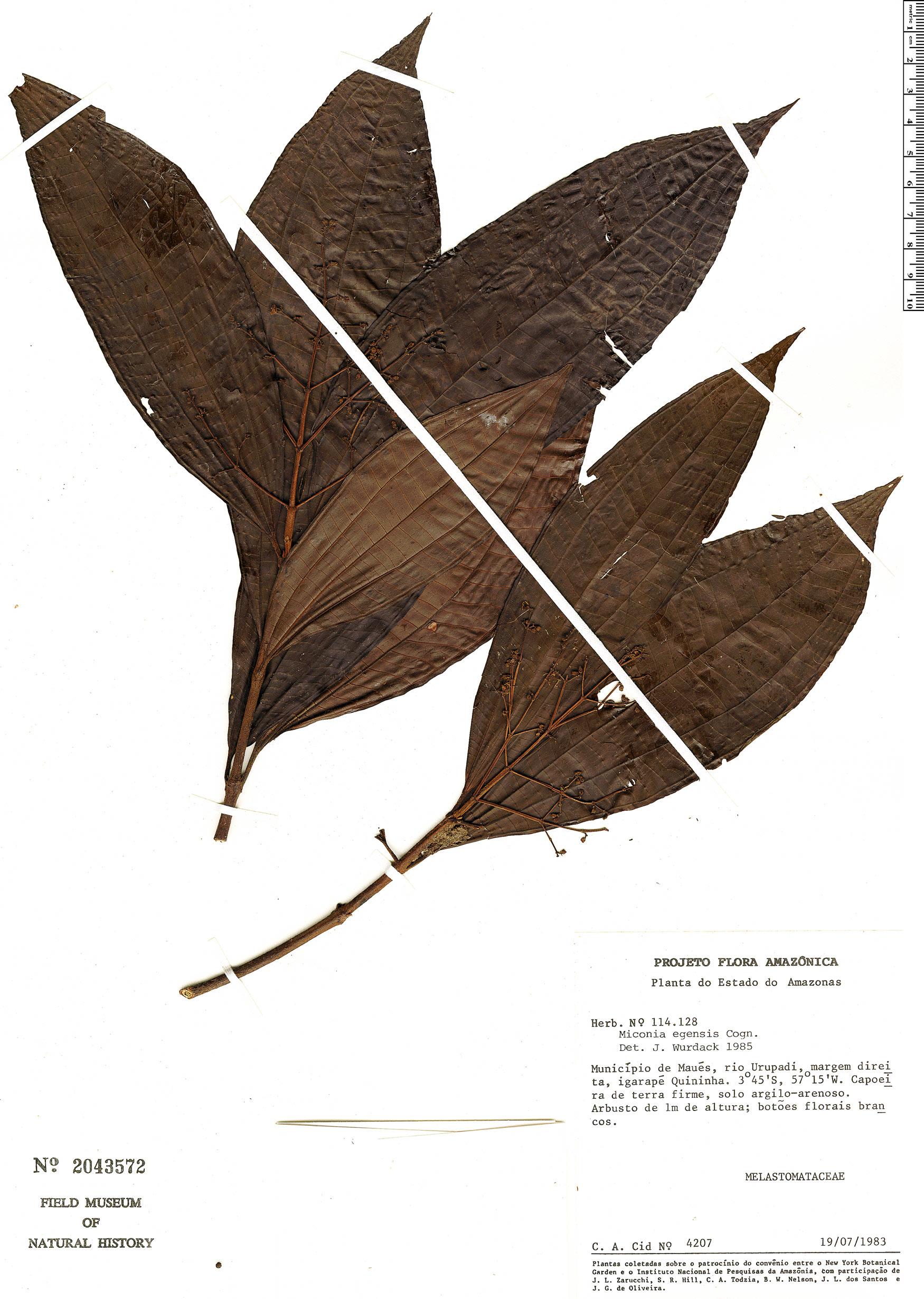 Specimen: Miconia egensis