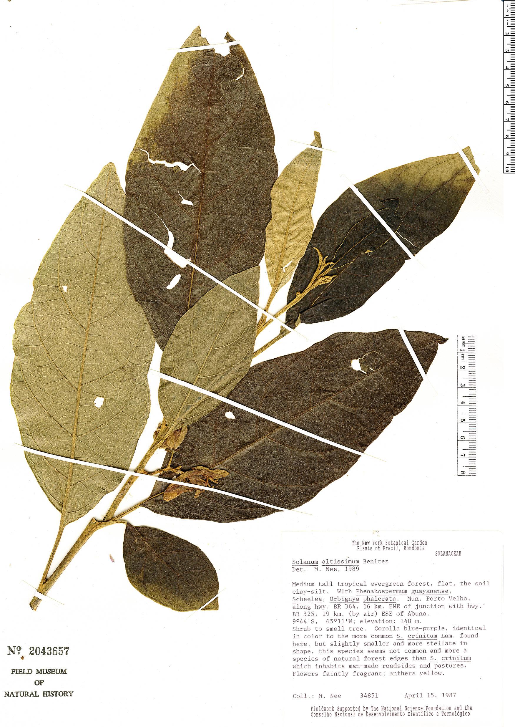 Specimen: Solanum cyathophorum