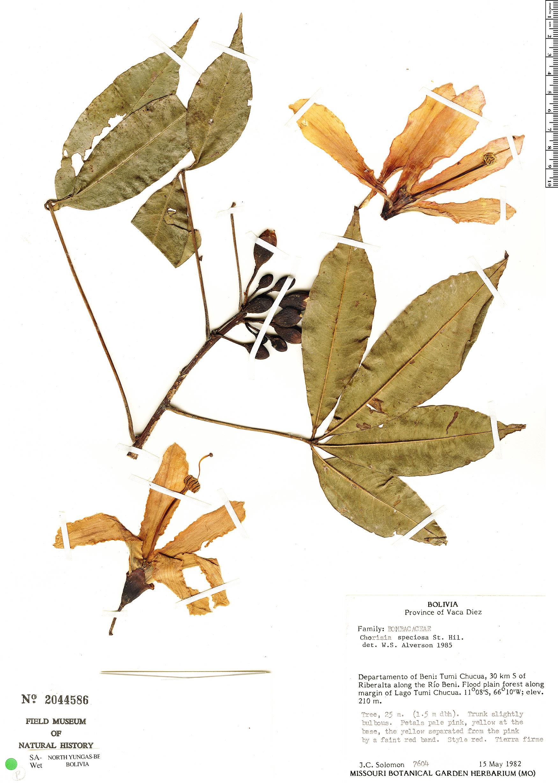 Specimen: Ceiba speciosa
