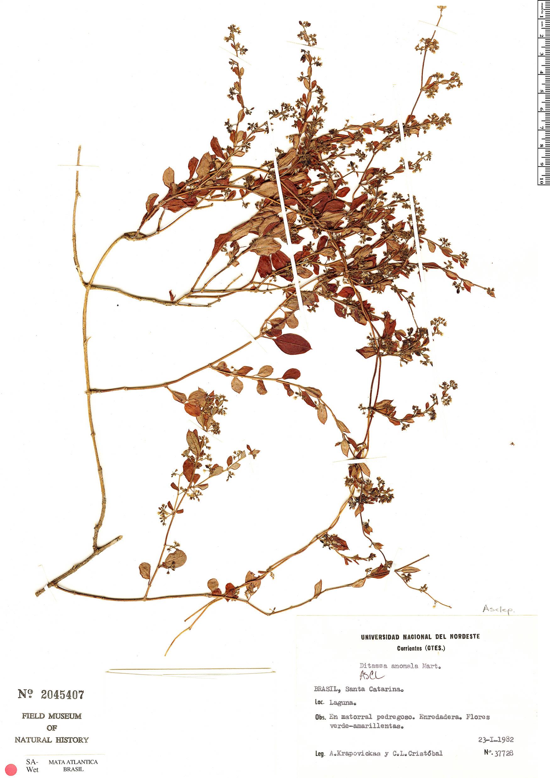 Specimen: Ditassa burchellii