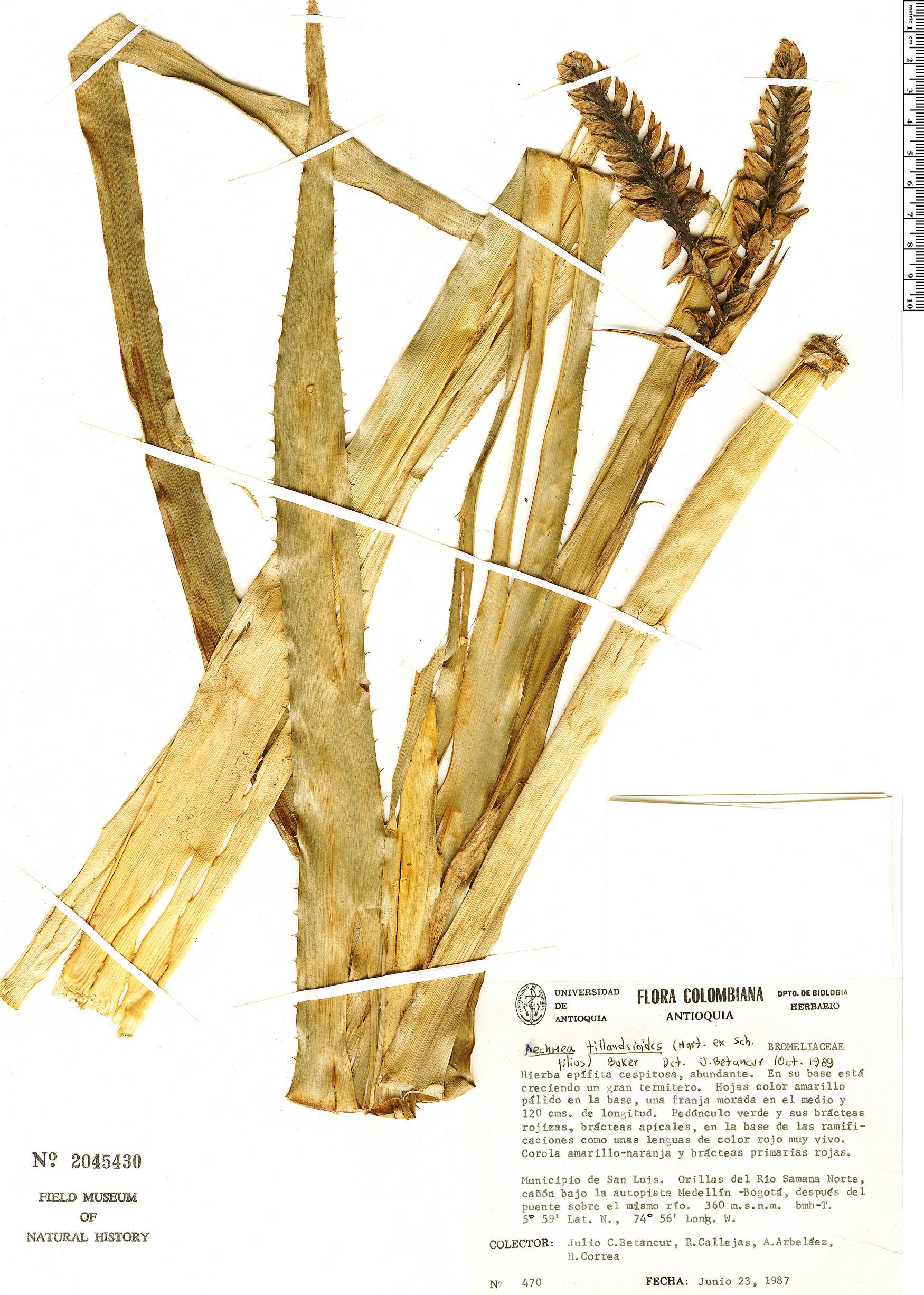 Specimen: Aechmea tillandsioides
