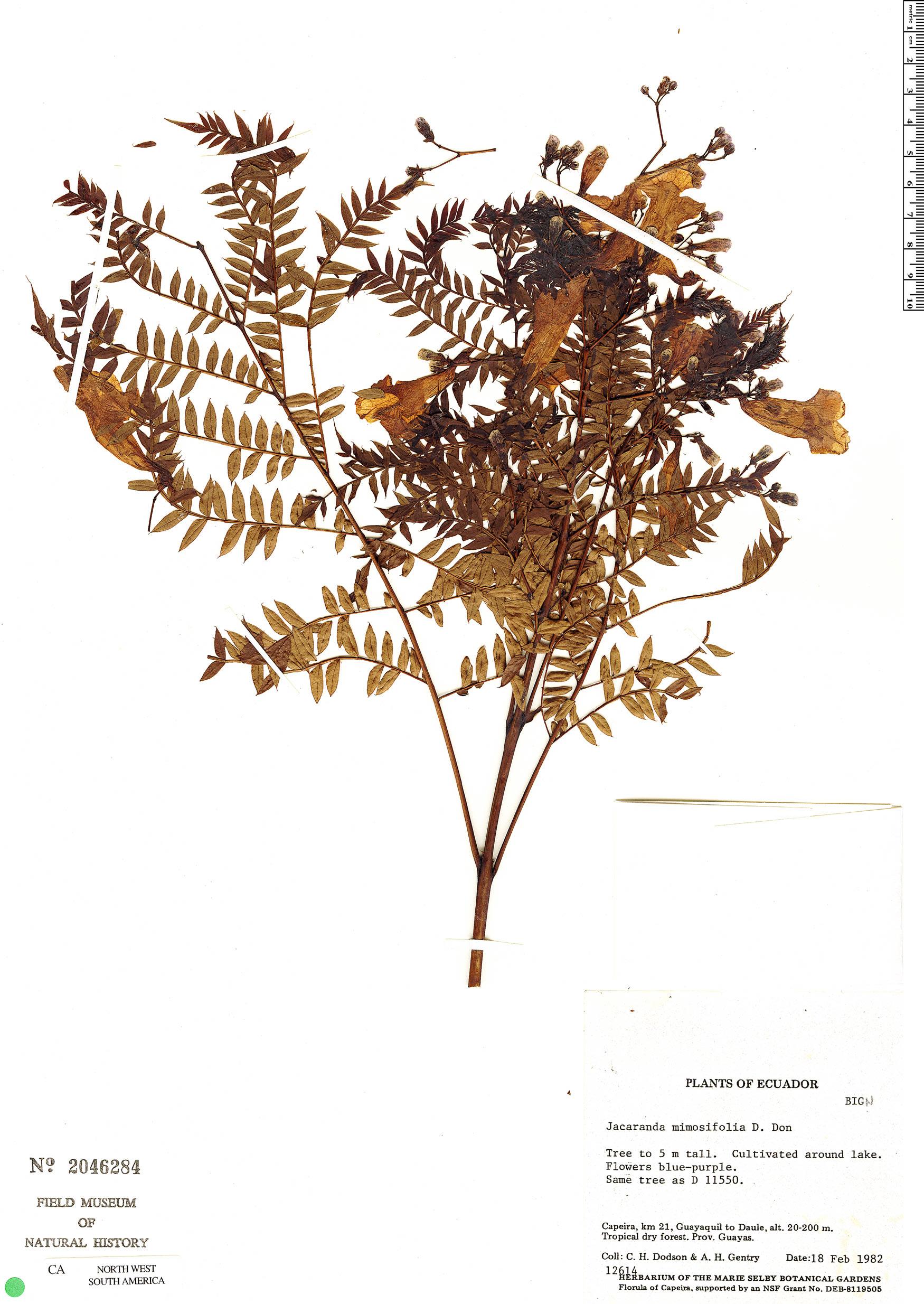 Specimen: Jacaranda mimosifolia