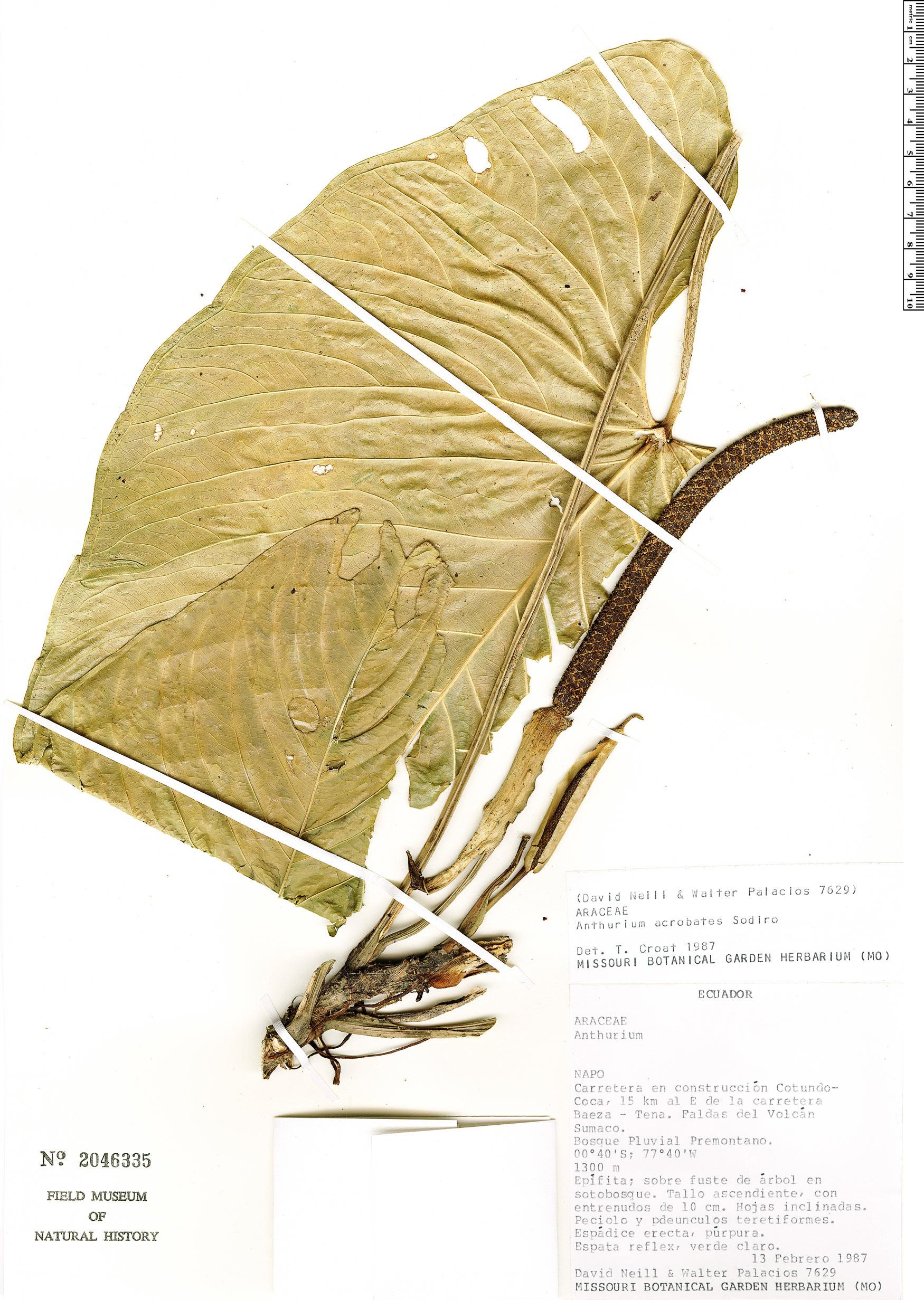 Espécime: Anthurium breviscapum