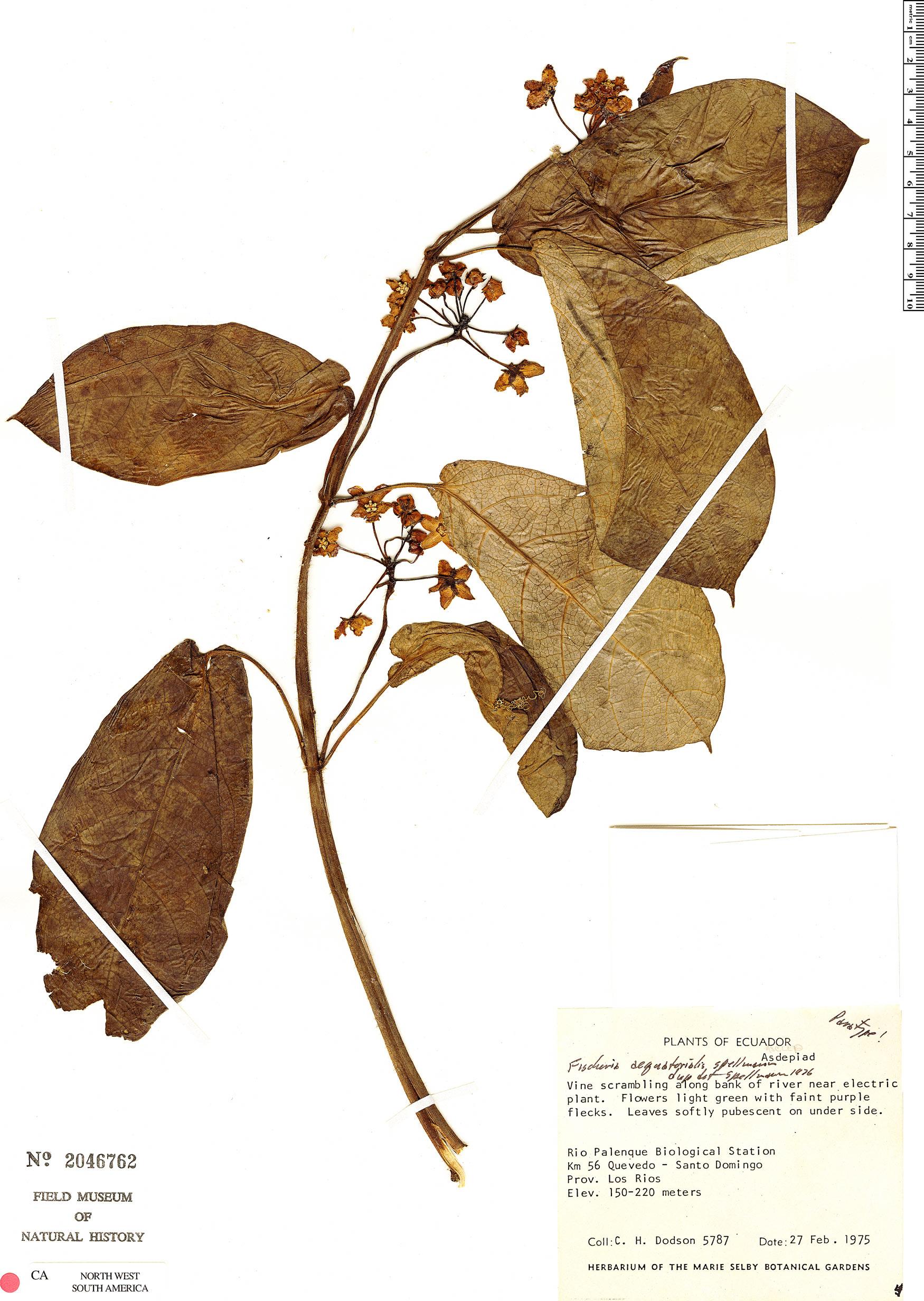Specimen: Fischeria aequatorialis