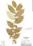 Geissospermum sericeum (Sagot) Benth., Brazil, G. T. Prance 24719, F