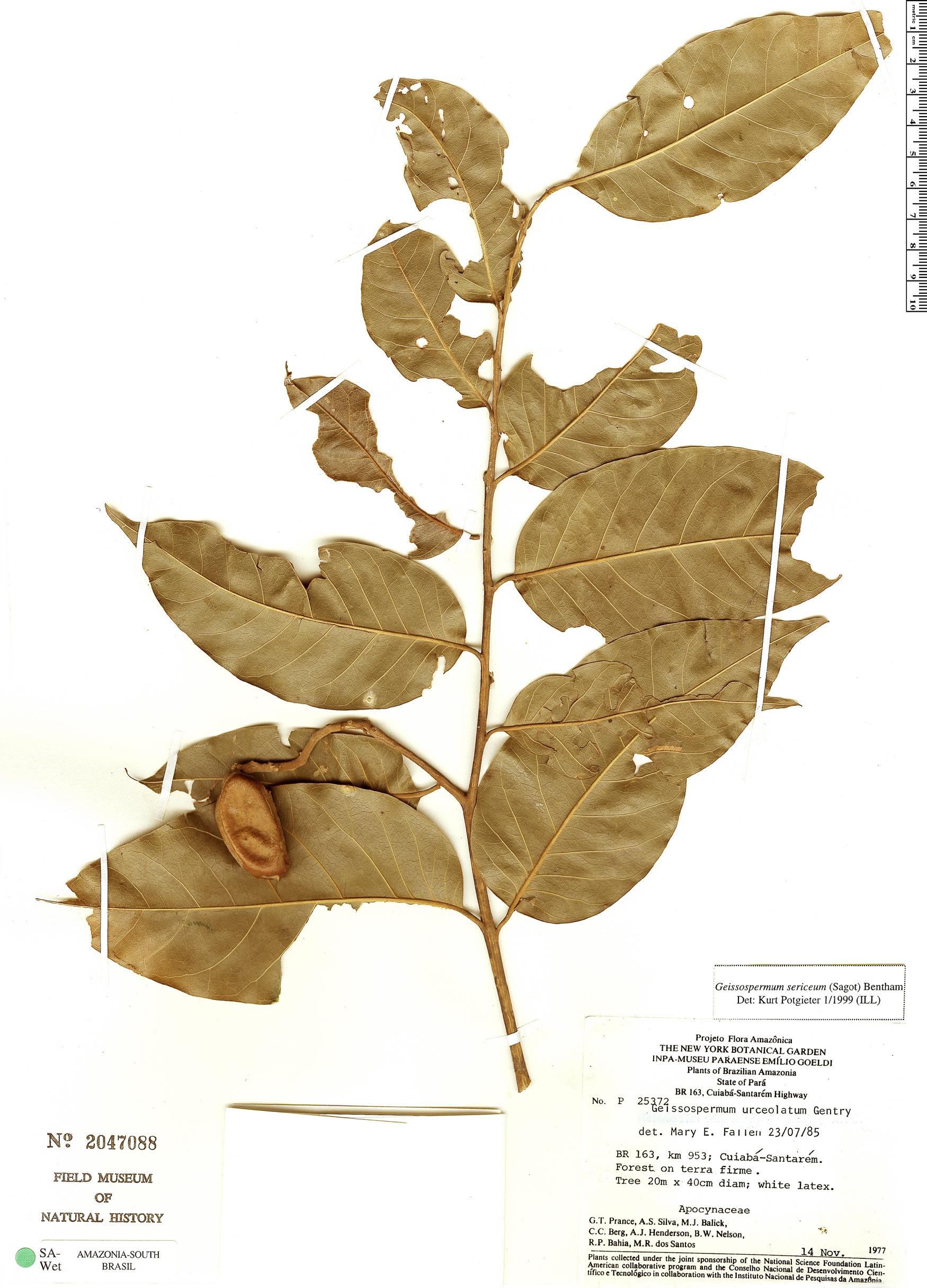 Specimen: Geissospermum urceolatum