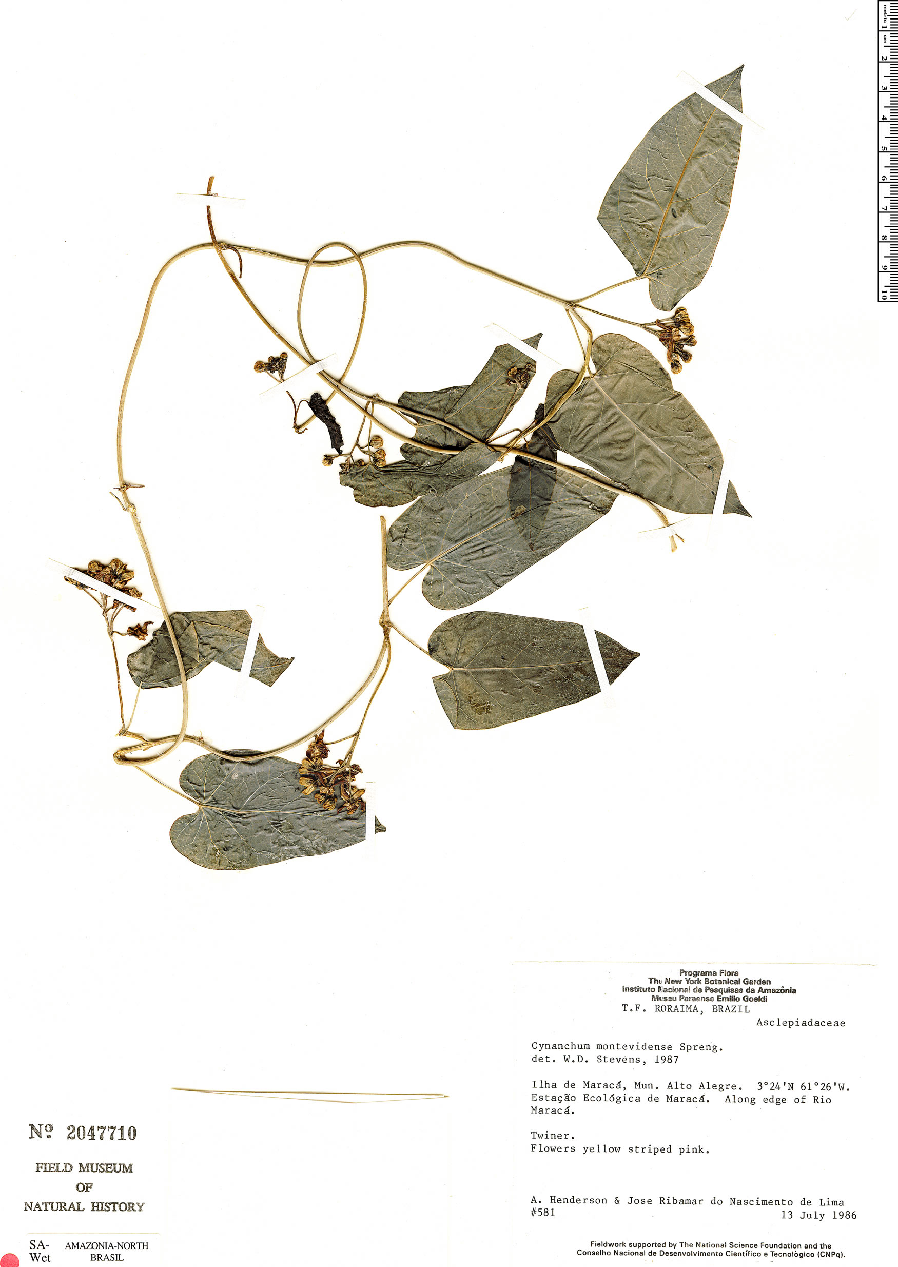 Specimen: Cynanchum montevidense