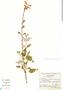 Salvia fulgens Cav., Mexico, A. Ventura 3082, F