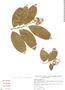 Ehretia tinifolia L., Mexico, C. Rodríguez Jimenez 59, F