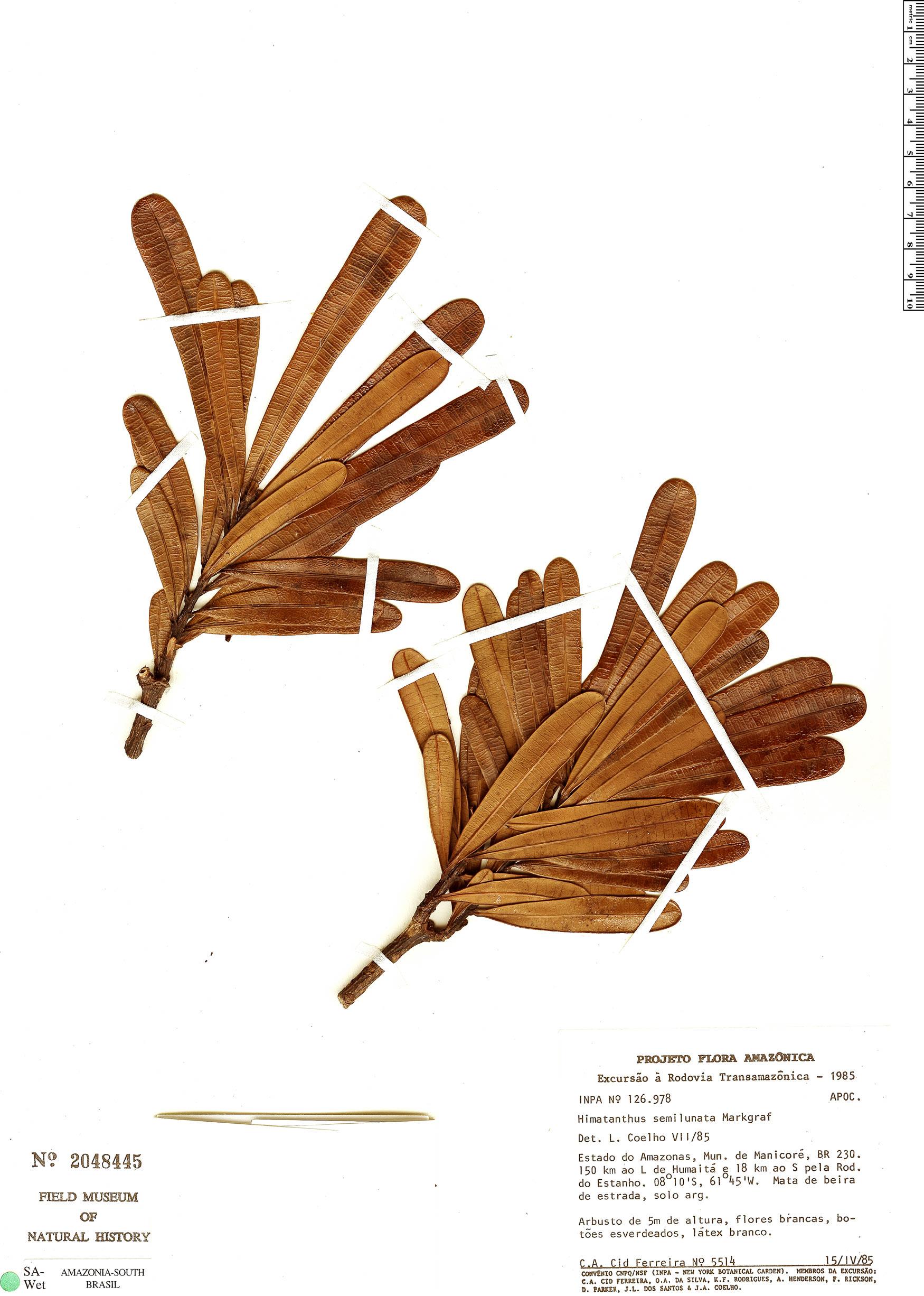 Specimen: Himatanthus semilunatus