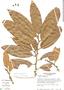 Naucleopsis naga, Costa Rica, B. E. Hammel 11587, F