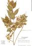 Myrcia splendens (Sw.) DC., J. F. Utley 4626, F