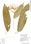 Heliconia aurantiaca Ghiesbr., W. C. Burger 11737, F