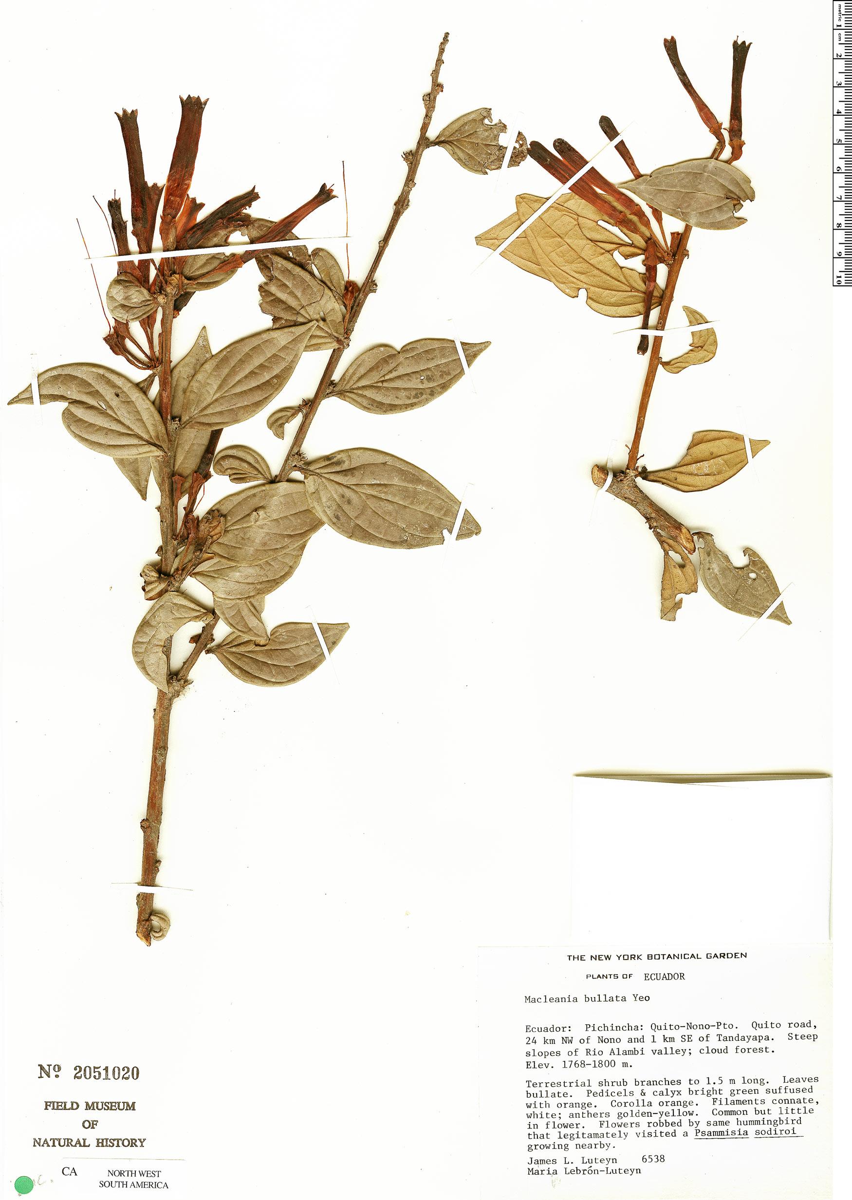 Specimen: Macleania bullata