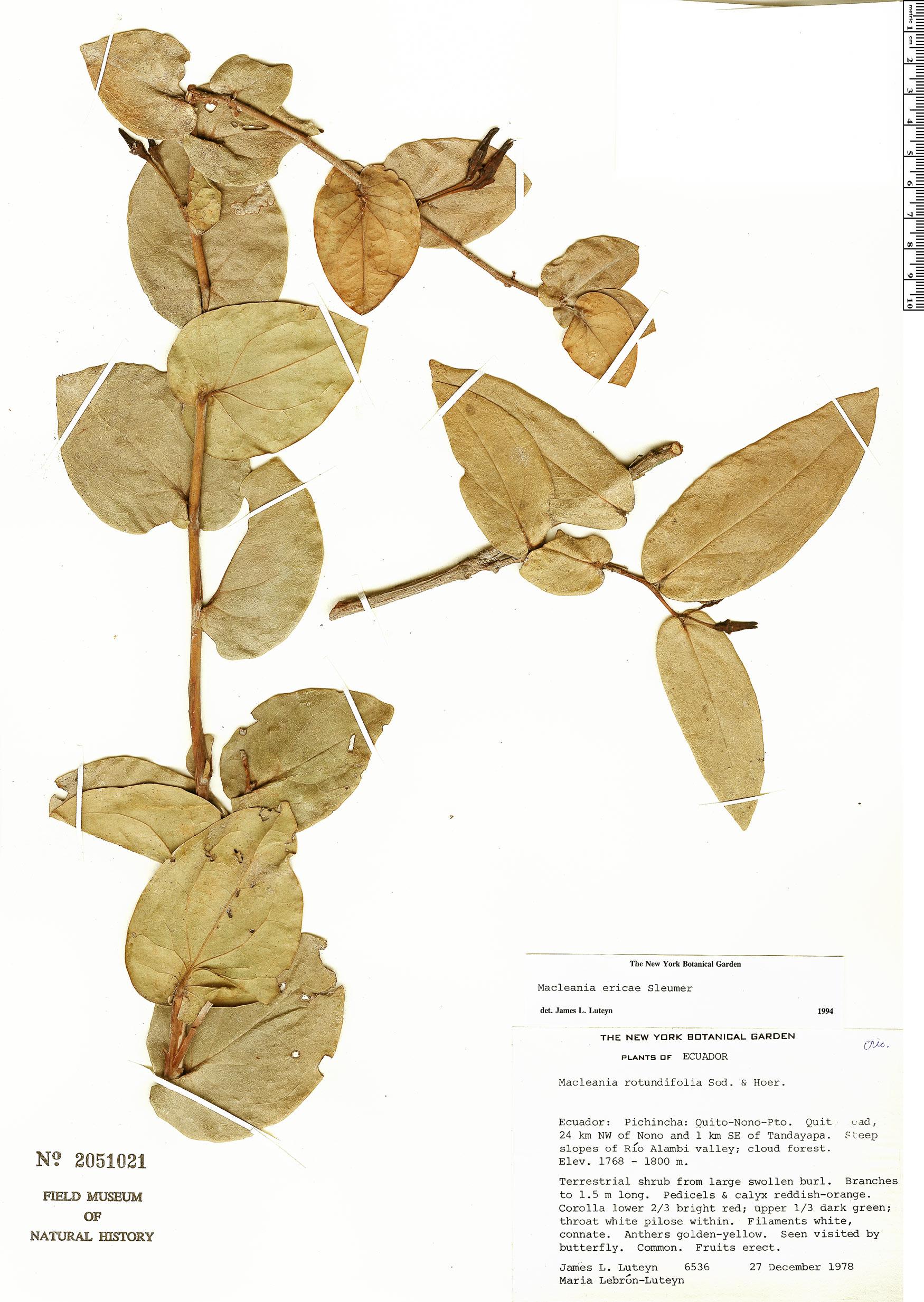 Espécimen: Macleania ericae