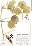 Canavalia rosea (Sw.) DC., Peru, S. Llatas Quiroz 2682, F