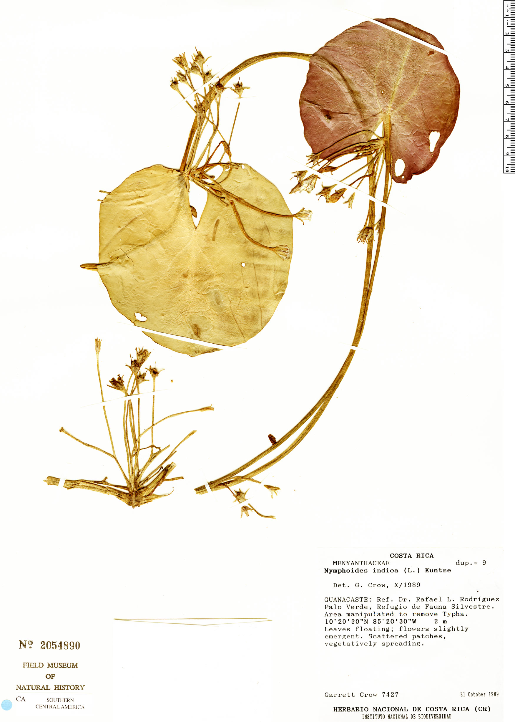 Nymphoides indica image