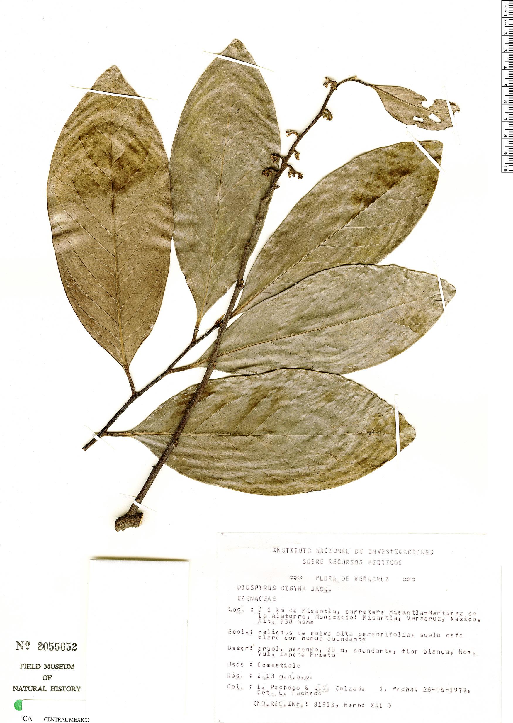 Diospyros digyna image
