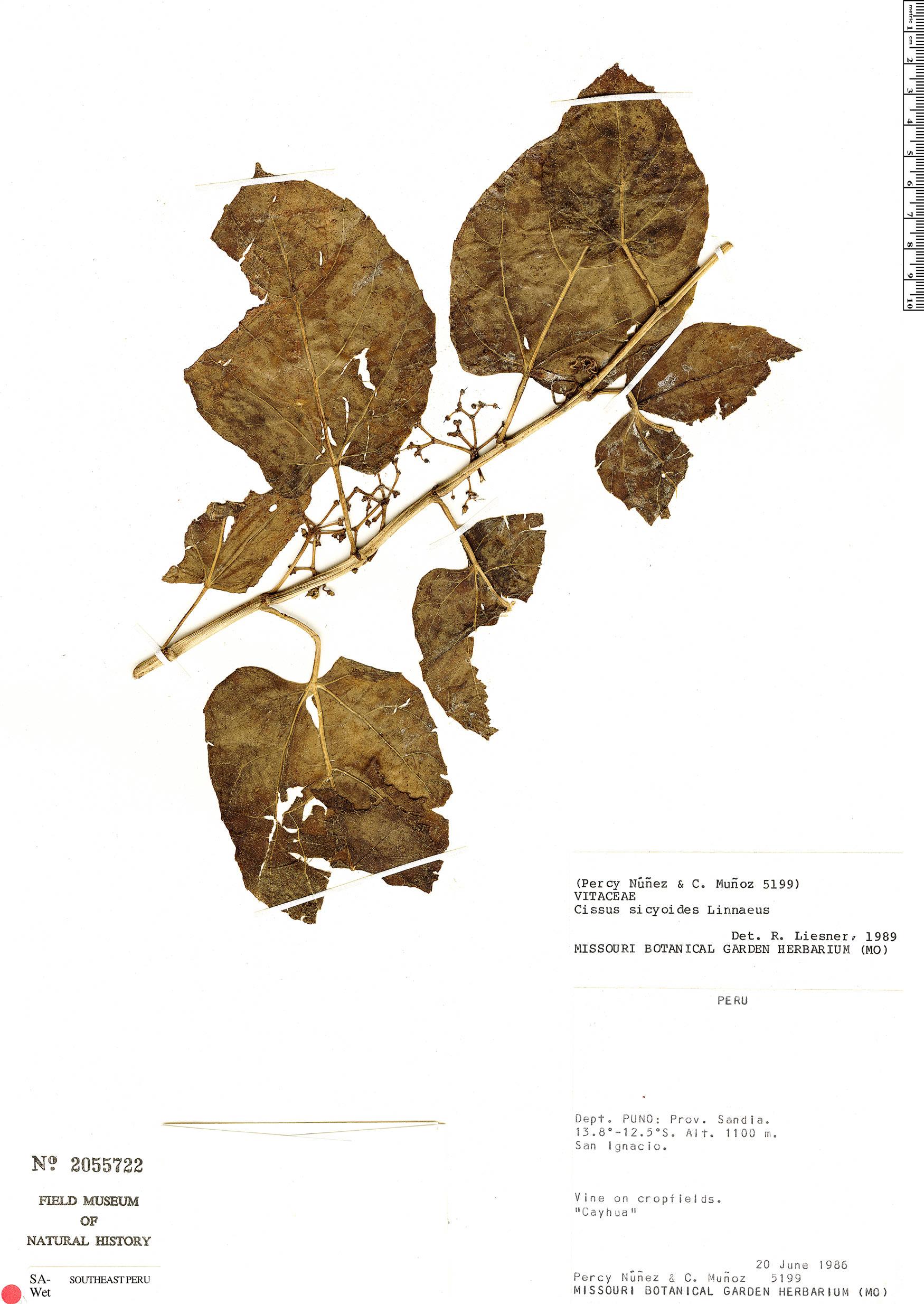 Specimen: Cissus verticillata