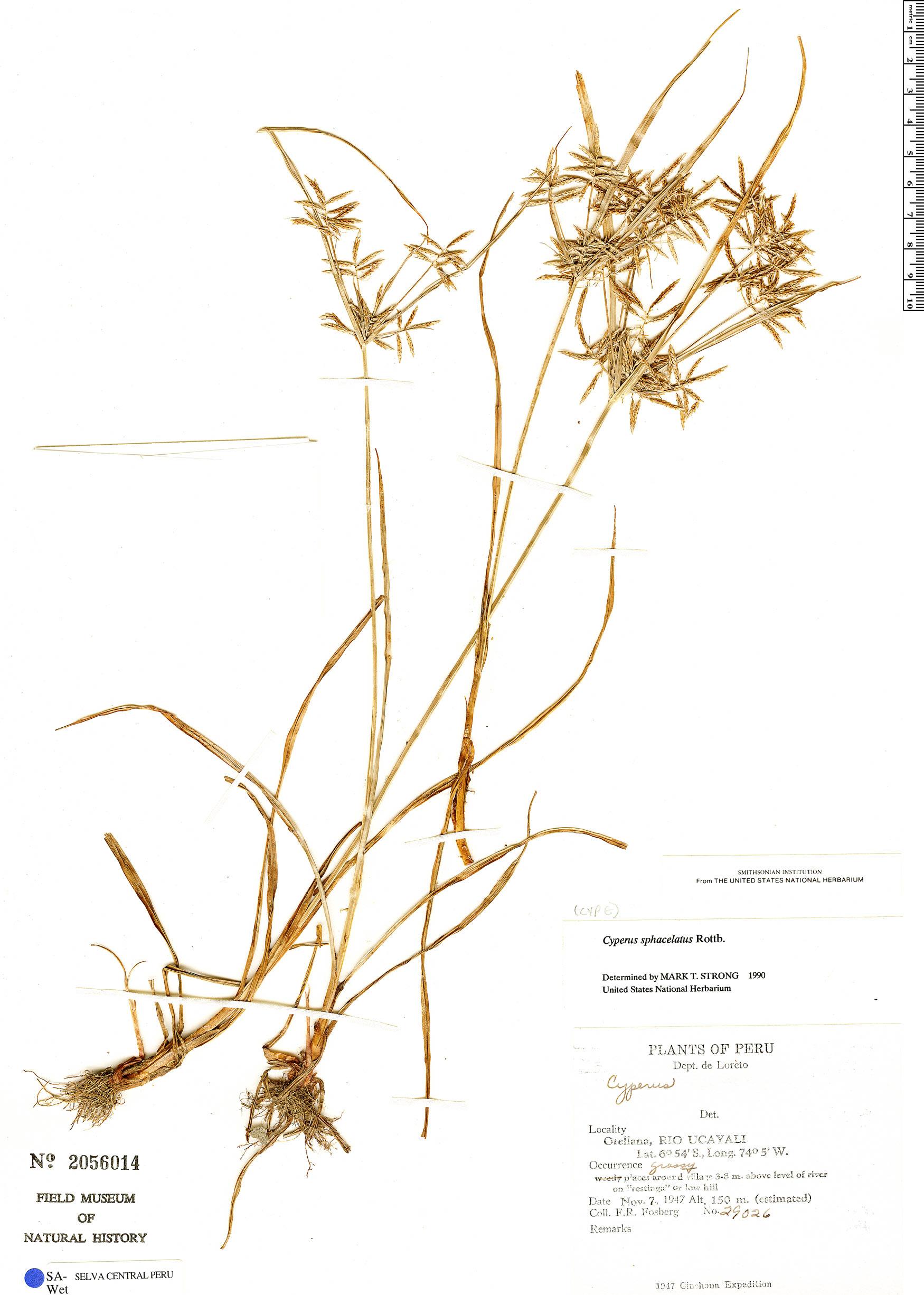 Specimen: Cyperus sphacelatus