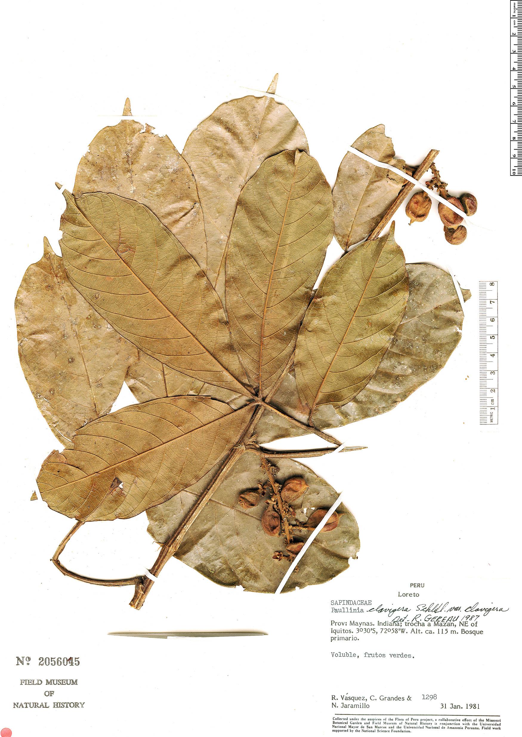 Specimen: Paullinia clavigera