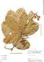 Paullinia clavigera Schltdl., Peru, Rod. Vásquez 1298, F