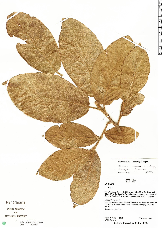 Specimen: Ficus mariae