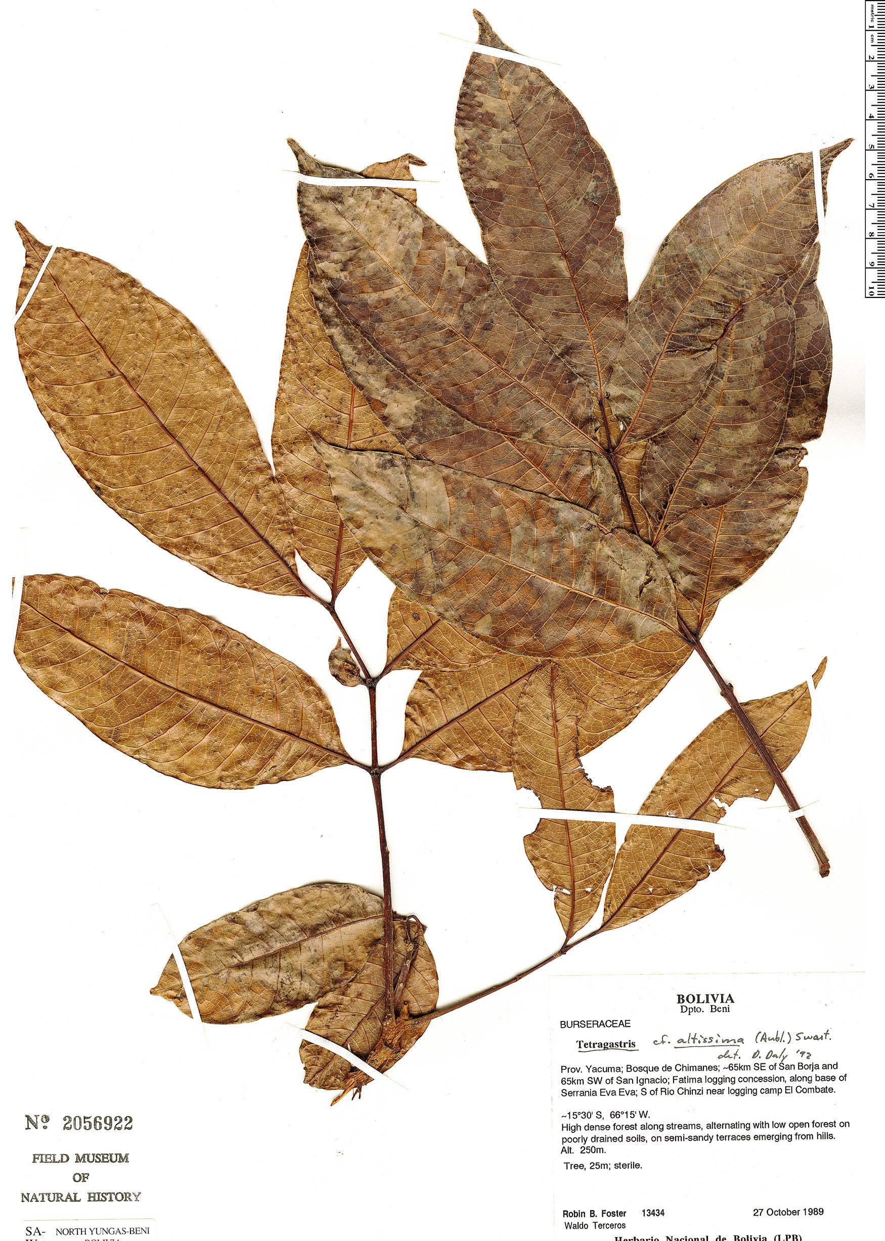 Specimen: Tetragastris altissima