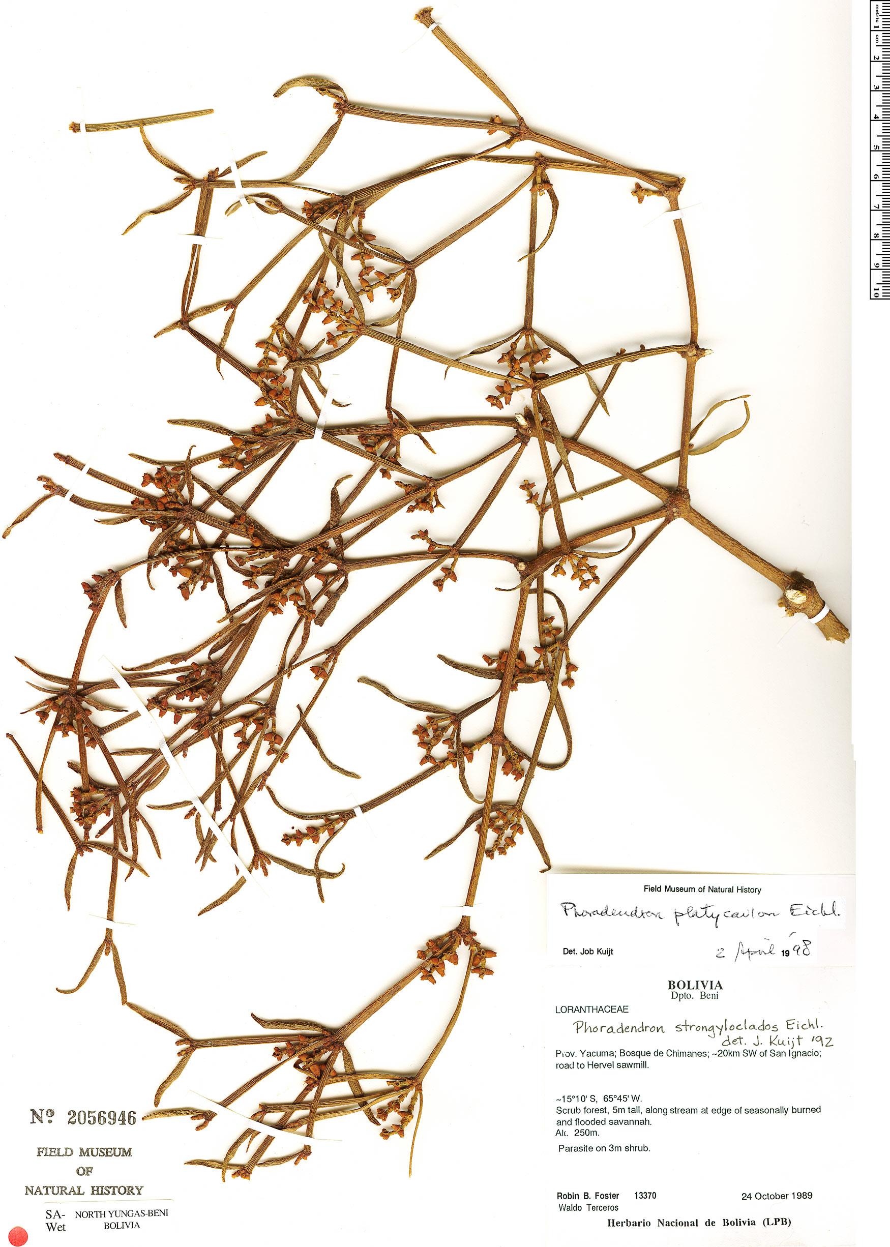 Espécimen: Phoradendron strongyloclados