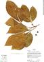 Allophylus semidentatus Radlk., Bolivia, R. B. Foster 13435, F