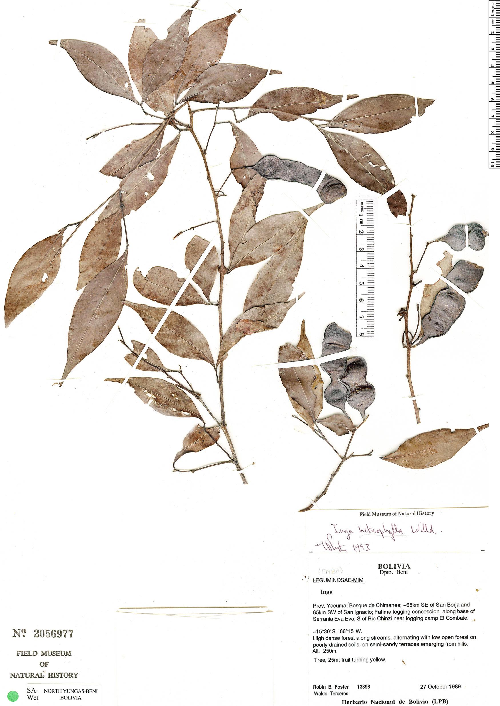 Specimen: Inga heterophylla