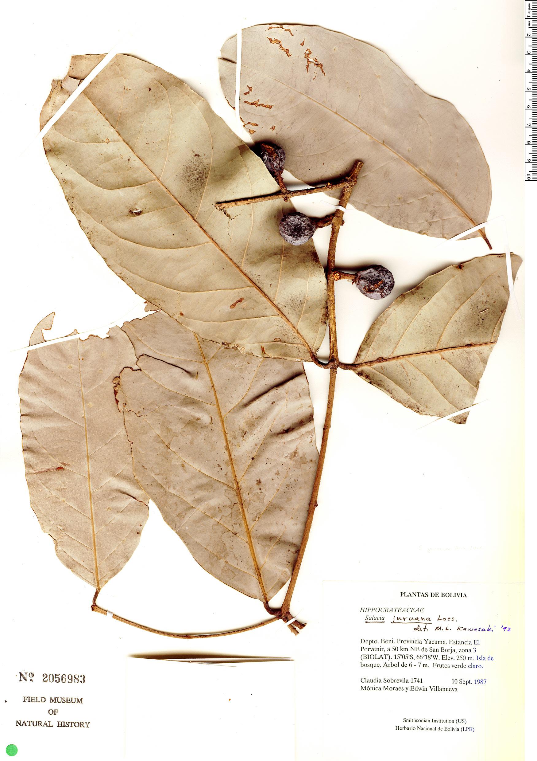 Specimen: Salacia juruana