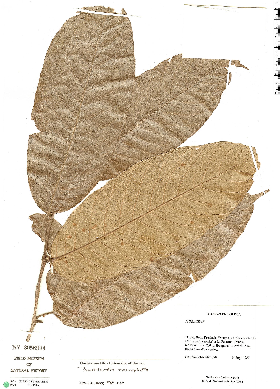Specimen: Pseudolmedia macrophylla