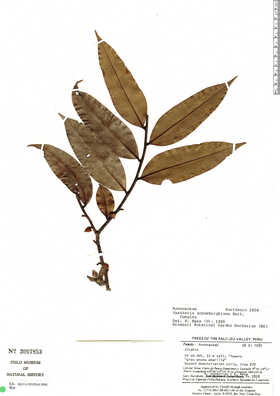Specimen: Guatteria citriodora