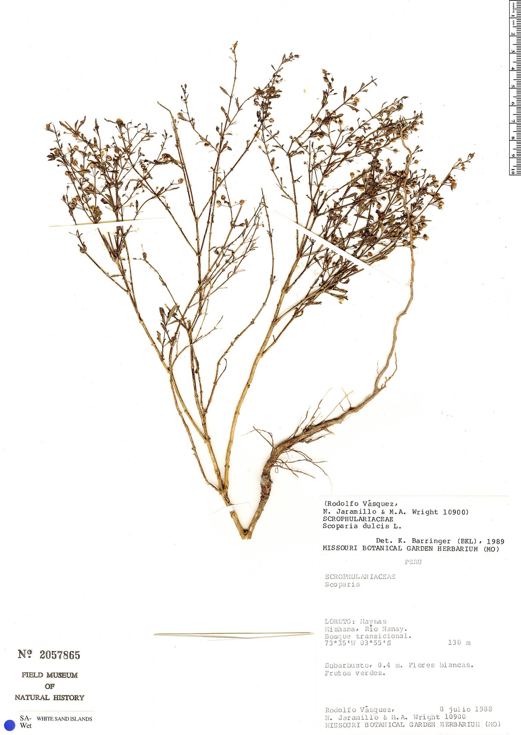 Specimen: Scoparia dulcis