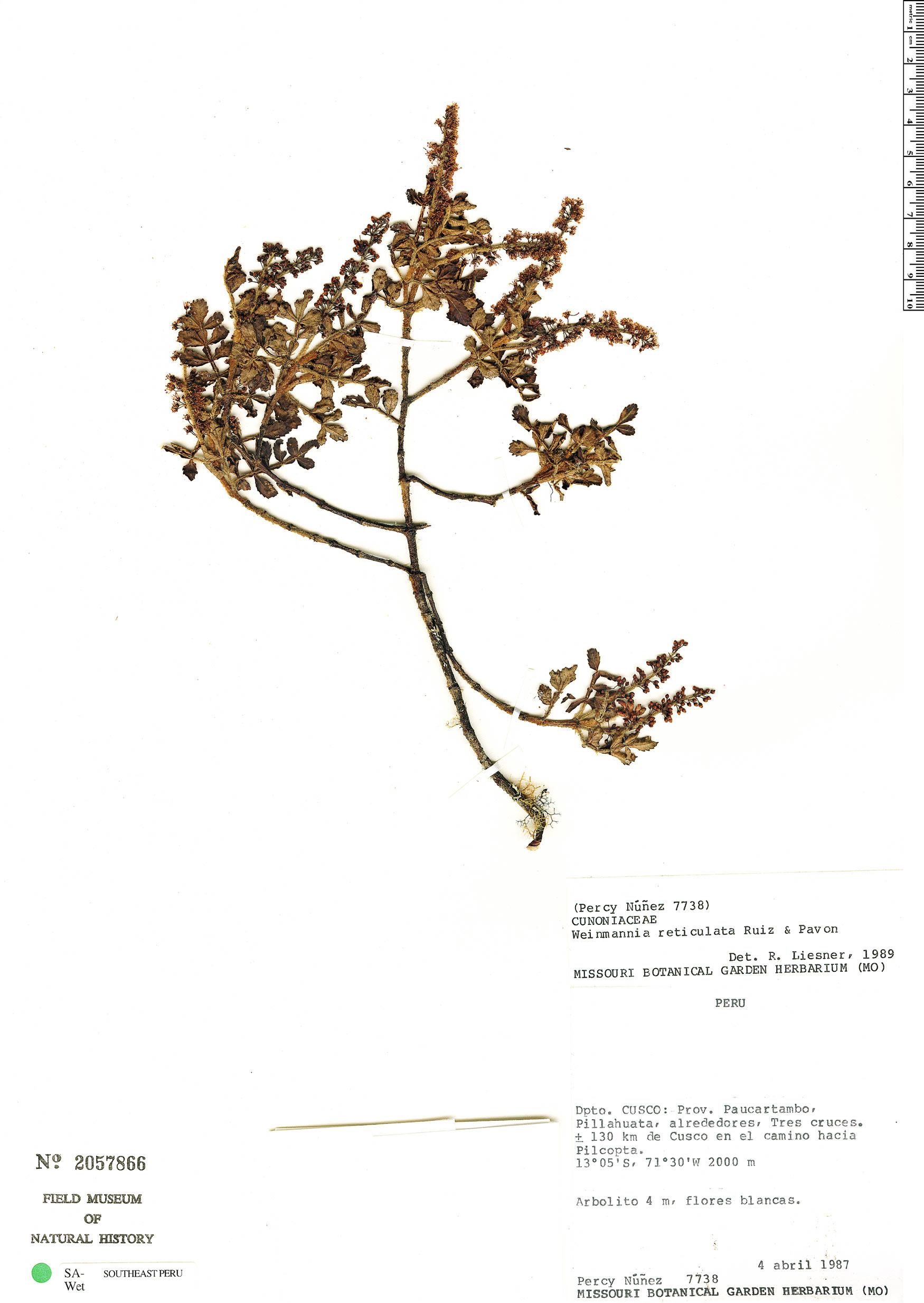 Specimen: Weinmannia reticulata