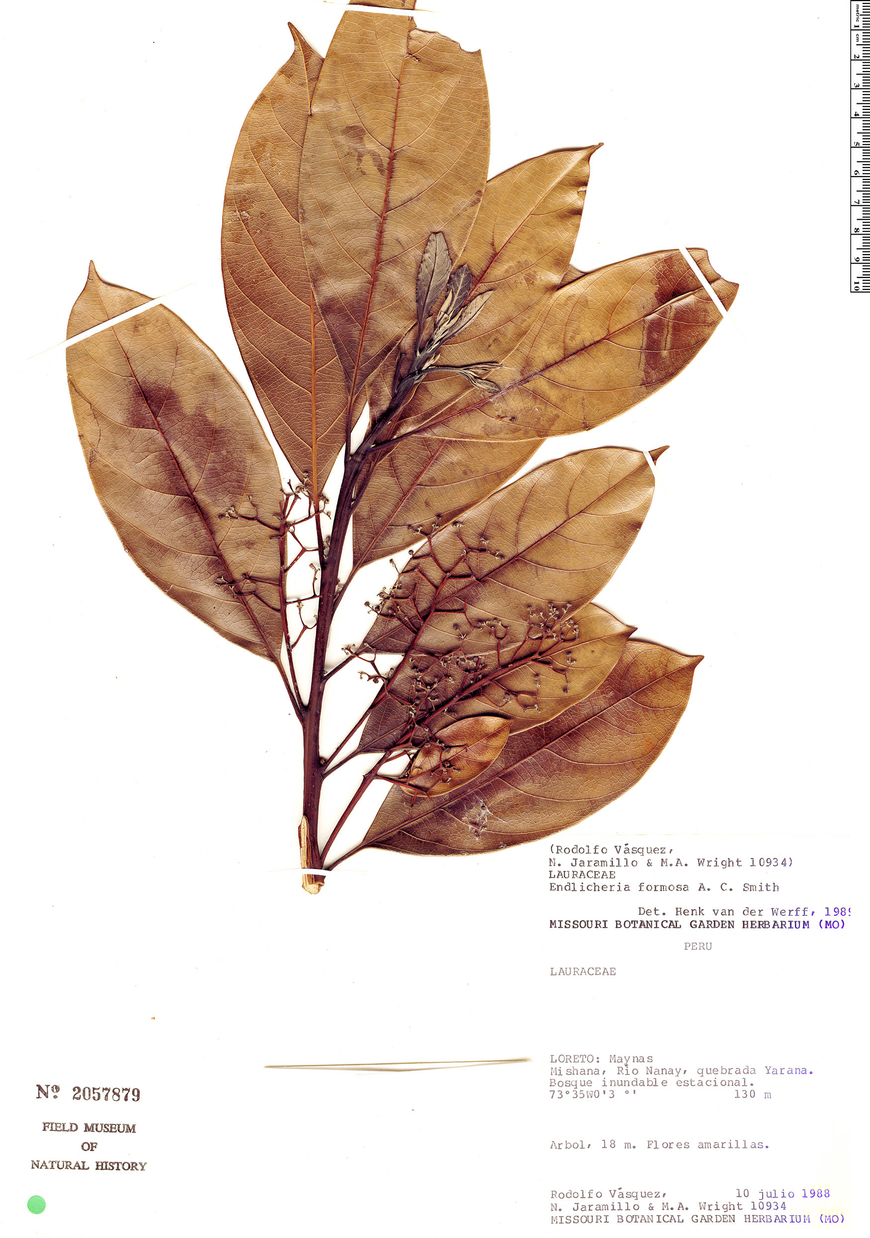 Specimen: Endlicheria formosa