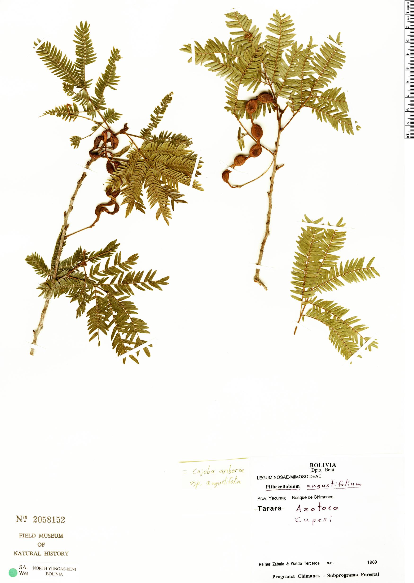 Espécime: Cojoba arborea