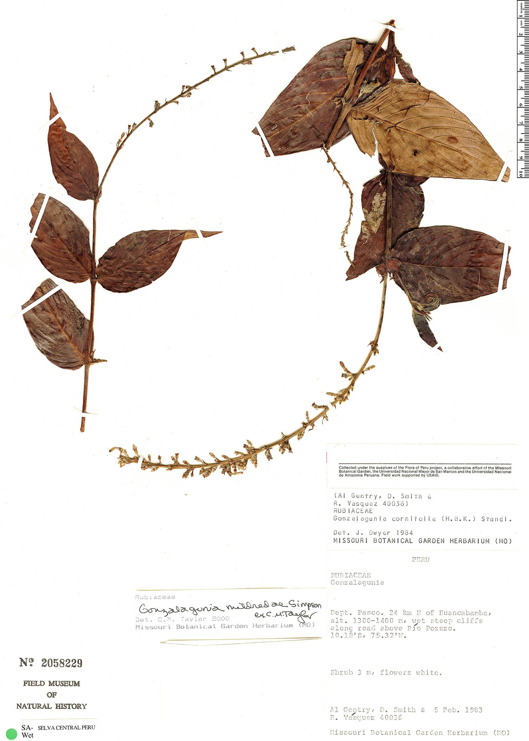 Specimen: Gonzalagunia mildrediae