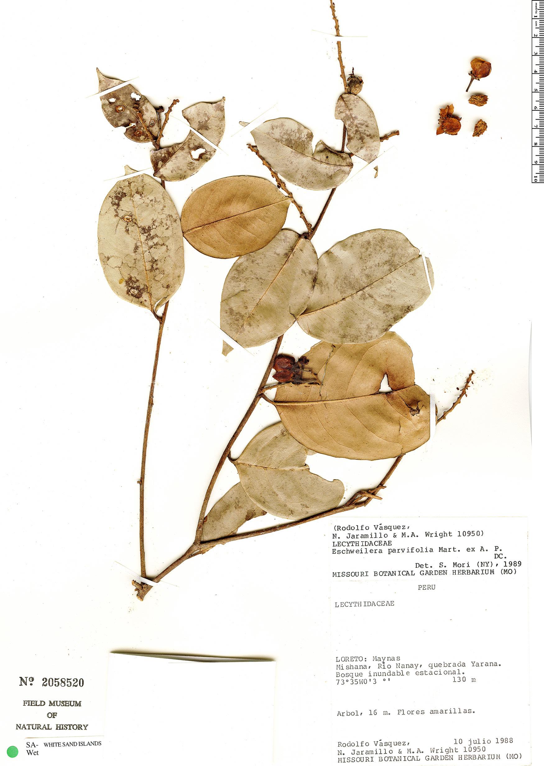 Specimen: Eschweilera parvifolia