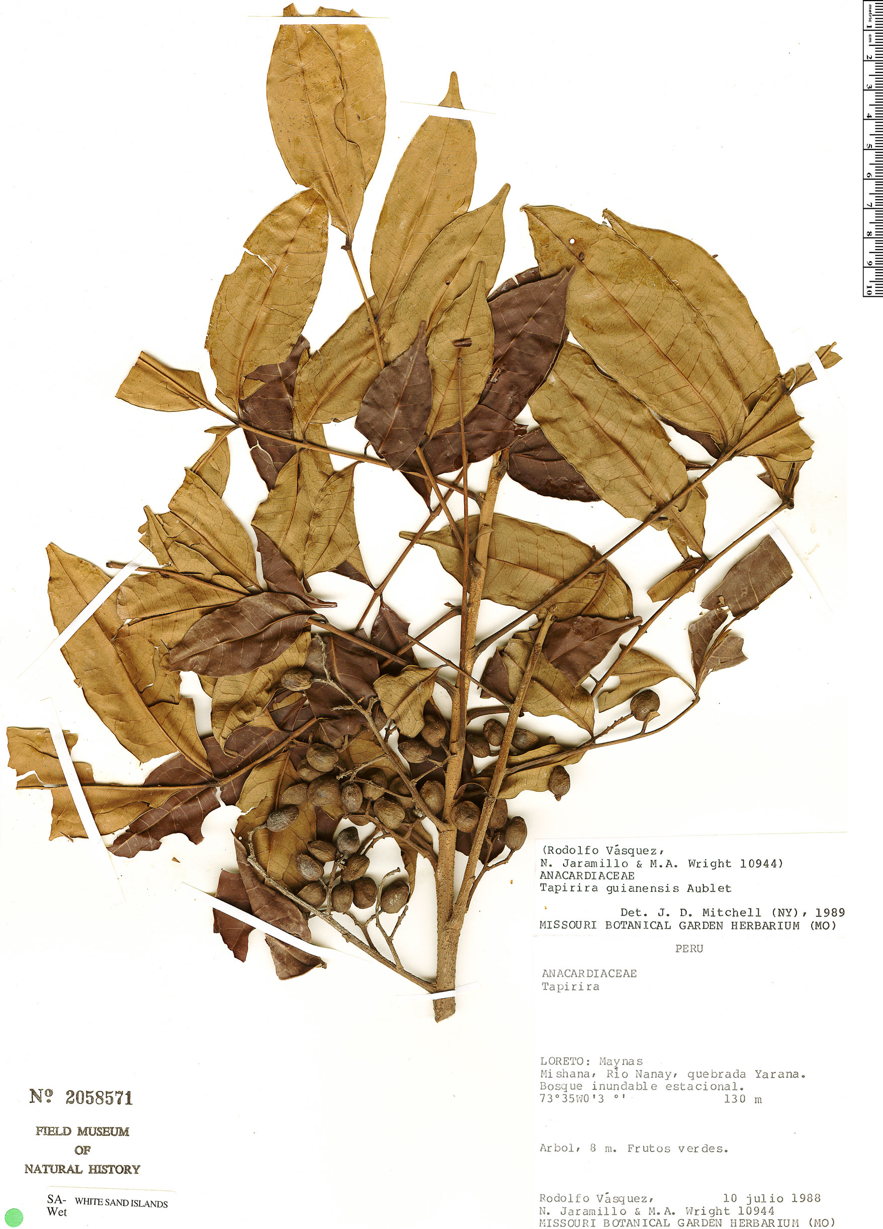Specimen: Tapirira guianensis