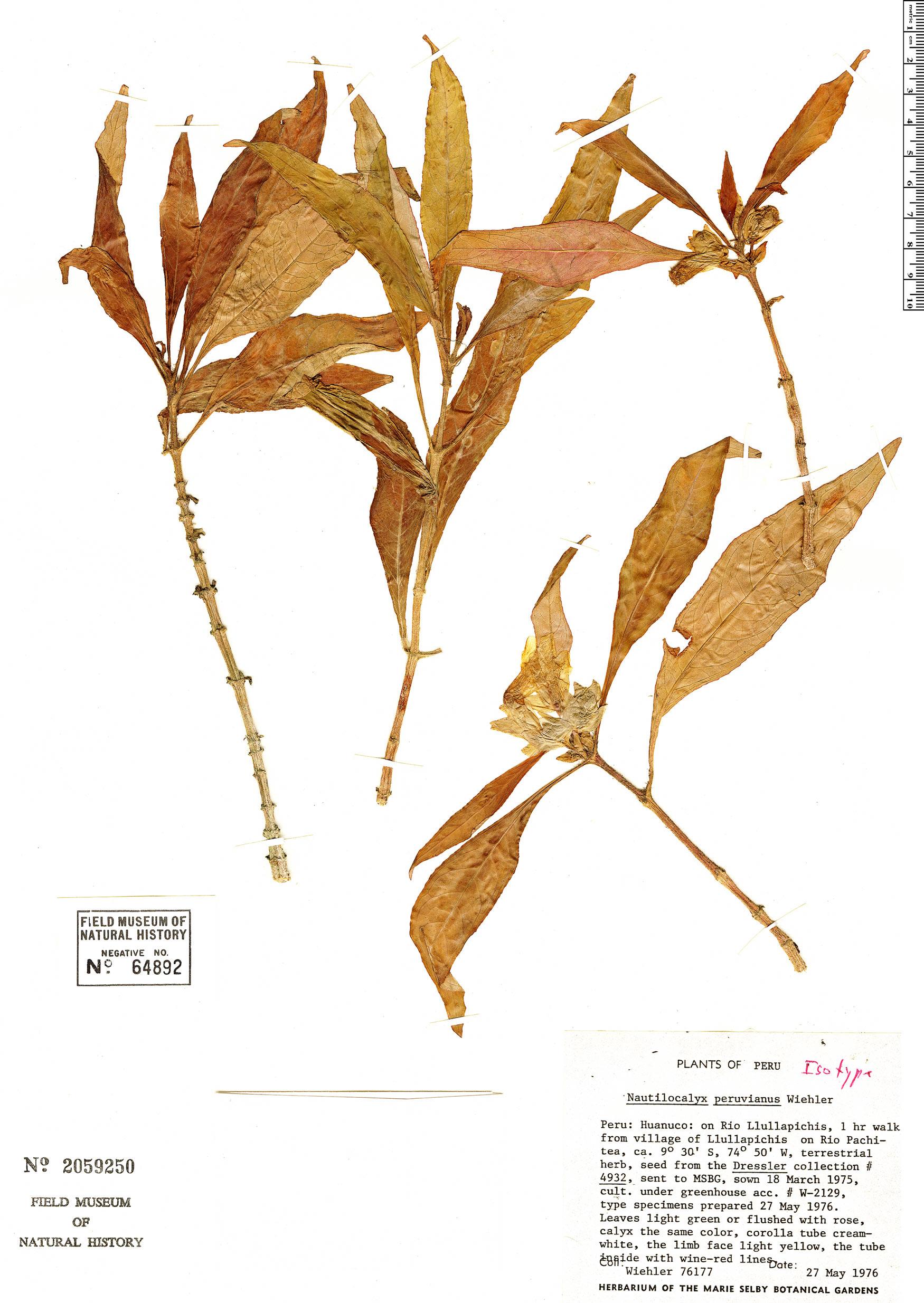 Specimen: Nautilocalyx peruvianus