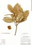Couratari macrosperma A. C. Sm., Brazil, C. A. Cid Ferreira 7431, F