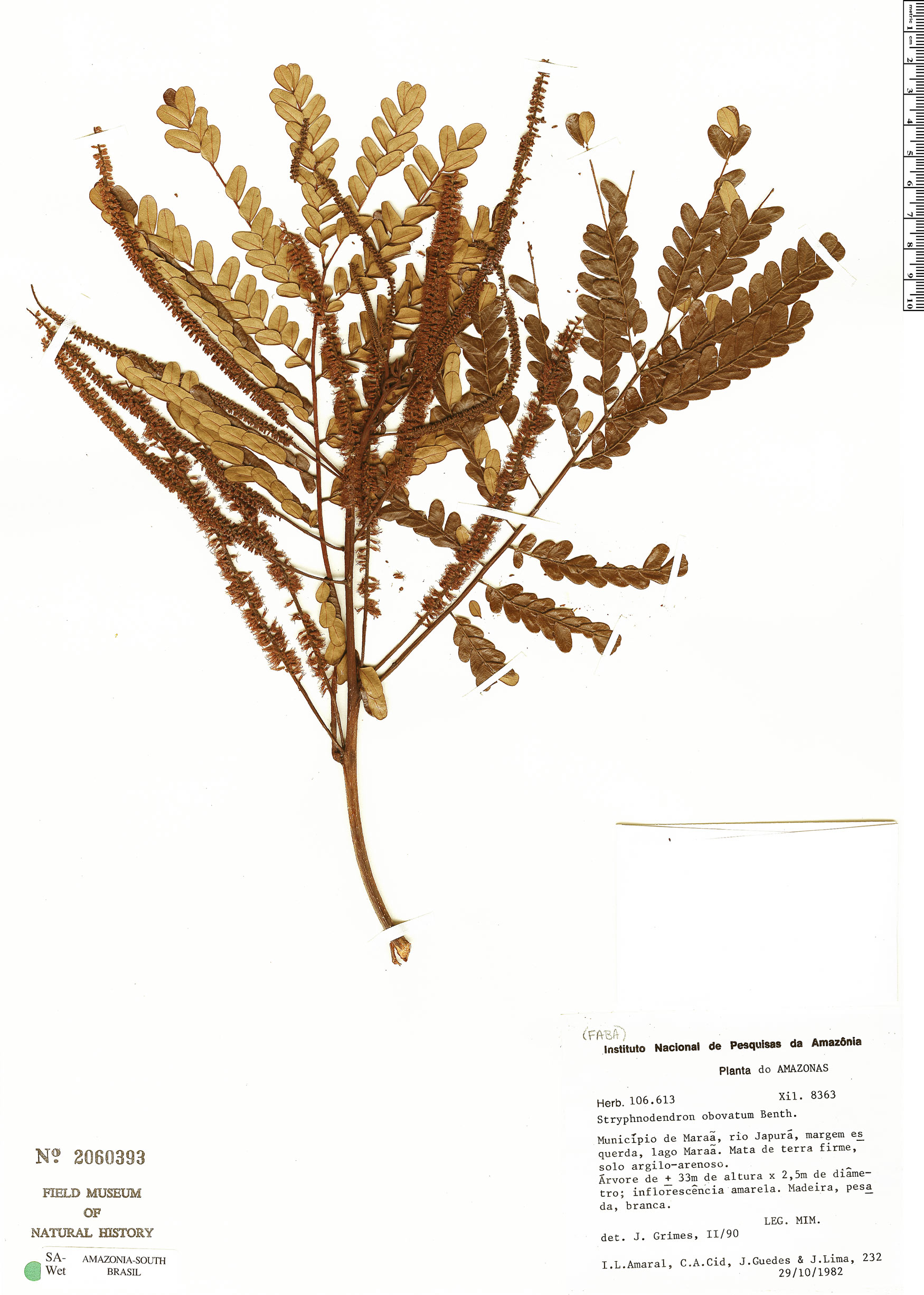 Espécime: Stryphnodendron obovatum