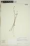 Utricularia L., TRINIDAD AND TOBAGO, U. Rowlett, F