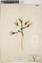 Agave fourcroydes Lem., Mexico, G. F. Gaumer 375, F